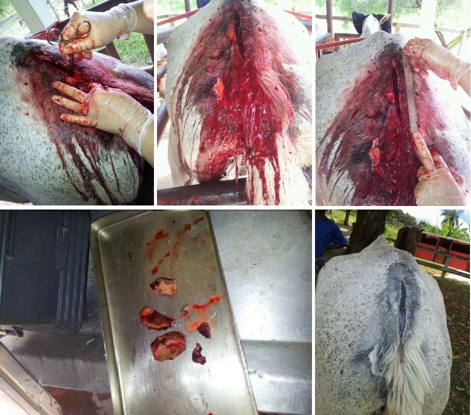 Cavalo Chiquinho operado