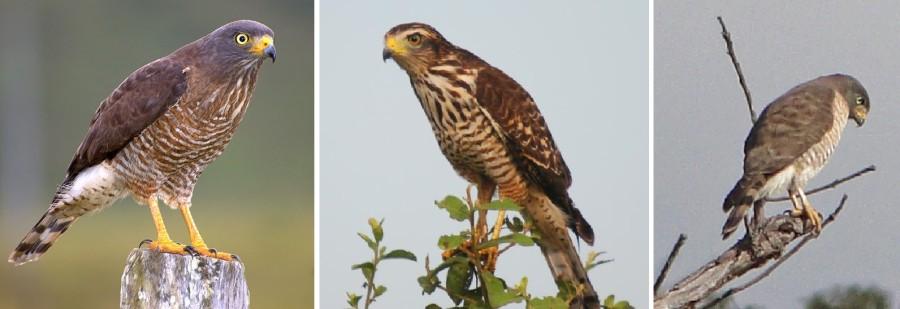 Aves de rapina 10