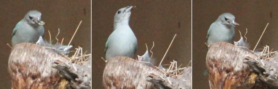Chimbinha no ninho 3